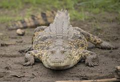 Nile Crocodile, Crocodilus niloticus, Msuna Fishing Resort, Zambezi River, Zimbabwe (Jeremy Smith Photography) Tags: nikon conservation crocodile zimbabwe predator zambezi nilecrocodile zambeziriver jeremysmith crocodylusniloticus jeremysmithphotographycouk jeremysmithphotographycom jeremysmith007 jnsmithphotos