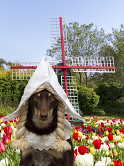 Going Dutch (aussiegall) Tags: dog netherlands windmill dutch hat costume spring ally tulips co 20 pigtails holand kelpie 52in2014