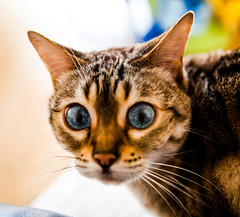 pickle (n.a.) Tags: blue snow cat eyes bengal pickle