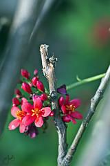 IMG_3674 (Jamil-Akhtar) Tags: pakistan flower macro islamabad canon6d minolta100mmf25