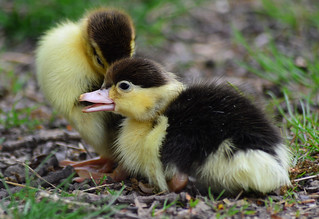 Muscovy ducklings hatched today !!