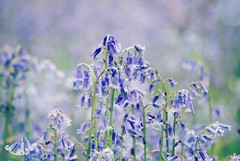 Nearing the end (Squatbetty) Tags: bluebells spring bokeh bluebell chesterfieldcanal 2015calendarmay