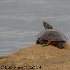 Tortue pinte (photos Luc Forest) Tags: canada nature reptile québec marais tortue faune pinte photoslucforest photoslucforestgmailcom