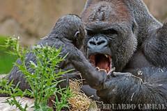 Ebobo jugando con su hija Ngumbi _DUA6780 (Eduardo_Cabral) Tags: animal animals zoo animales zoodebarcelona canon1dmarkiii luiseduardocabralgopar tamronsp150600mmf563divcusd