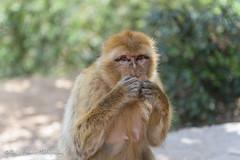 Speak No Evil (MFranksPhoto) Tags: holiday animal monkey waterfall nikon wildlife morroco ape marrakech barbary d600 2470 cascadesofouzoud