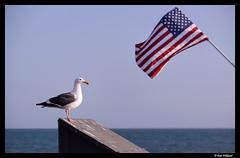 Saluting the flag (Dan Wiklund) Tags: ocean california usa bird animal pier flag gull ventura starsandstripes d800 2014 venturapier