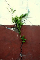 Life finds a way (Carlos A. Aviles) Tags: plant fern planta helecho wall pared