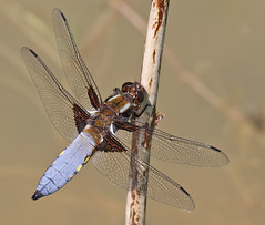 Male Broad-bodied chaser (Roger H3) Tags: insect dragonfly broad chaser odonata bodied