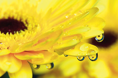 Macro droplets (PFBMag) Tags: flower macro water yellow closeup project droplets outdoor refraction daisy