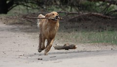 Dog and his stick (Inquisitive Eye) Tags: dog motion freedom stick dogpark