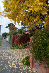 A bit Wobbly (Jocey K) Tags: street autumn trees newzealand christchurch plants leaves fences pathway lampposts ginkgotree