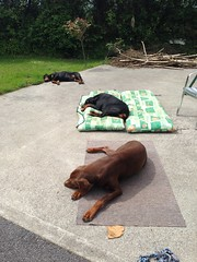 Three In A Row - Doberman Pinschers Dolce, Gabbana and Zeus - Lazing On A Sunny Afternoon. (firehouse.ie) Tags: canine k9 gabbana zeus dolce dog dogs animal animals dobe dobes dobie dobies doberman dobermans dobermann dobermanns pinscher pinschers guard watch devil hell hound hounds male female black tan red brown boy girl german breed germany