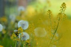 (Fransois) Tags: yellow fleurs jaune blurry poem haiku bokeh champs des wildflowers flou pome fleursdeschamps franoischarron