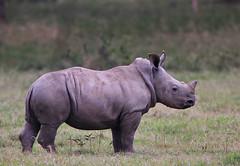 Next generation or last generation? (Rainbirder) Tags: kenya ngc whiterhino whiterhinoceros ceratotheriumsimum solioranch rainbirder grassrhino