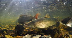 Whitefish in Sunlight (Fish as art) Tags: fish stream whitefish yellowknife northerncanada coregonids northernfishes canadianfishes paulvecseiphotography streamfishes fishasart