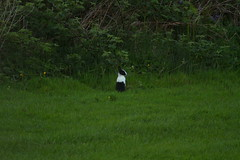 Minister (ferrymanjgb) Tags: nature rabbits kintyre gigha