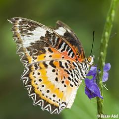 Butterfly (HASAN_ADEL) Tags: macro green nature beautiful beauty canon butterfly bug insect natural butterflies micro جمال حشرة جميل طبيعة فراشة ماكرو كانون حشرات فراشات ميكرو 5dmkii موث