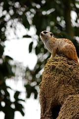 San Diego Zoo (Just BS) Tags: zoo meerkat sandiegozoo aza