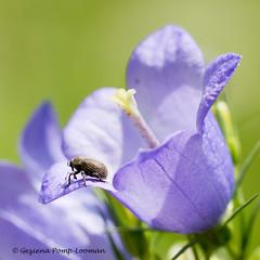 lila bloem met beestje (Geziena) Tags: closeup nikon 90mm bloem kever d7100