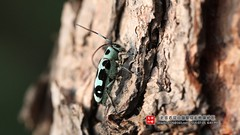 Paraglenea fortunei () Tags: animal insect beijing  coleoptera  cerambycidae    baihuashan