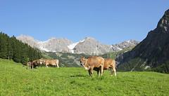 Alm (R. A. R.) Tags: mountains germany landscape deutschland cows berge alm alpen landschaft khe canon1022mm allgueralpen canon550d