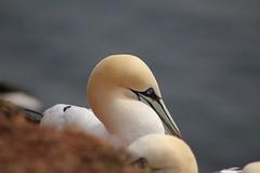 Helgoland (heiko.moser (+ 10.000.000 views )) Tags: natur insel helgoland heikomoser