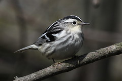 Black-and-white Warbler (female) (Jeremy Meyer) Tags: blackandwhite bird lakepark warbler 2014 blackandwhitewarbler