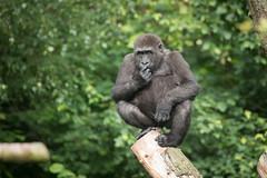 2014-05-30-10h27m08.BL7R8664 (A.J. Haverkamp) Tags: zoo gorilla arnhem thenetherlands burgerszoo dierentuin westernlowlandgorilla westelijkelaaglandgorilla canonef100400mmf4556lisusmlens httpwwwburgerszoonl dob04112009 nakou