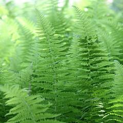 Ferns (cheryl.rose83) Tags: plants fern