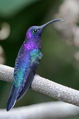 Violet Sabrewing (Alan Gutsell) Tags: costa selva violet photola ricaalan gutsellnaturenature sabrewingviolet sabrewingbirdbirds