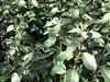 182/365 Silverberry Bush (Elle.365) Tags: bush july day182 elaeagnus silverberry ebbingei 3652014 365the2014edition 01072014