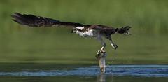 Osprey - Grace of a Figure Skater (ken.helal) Tags: osprey