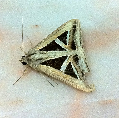 Triangle Butterfly, Singapore