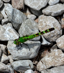Green With Envy (Phyllis74) Tags: macro nature bug dragonfly muscatatuckwildliferefugee