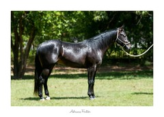 AF0712-6822 (Adriana Füchter ... thank you for 4 Million Views) Tags: adrianafuchter detail exposição make photo paarden horse galope slott pferde cheval chevaux caballo equines professionalequineimages cavalos equino country rural natures finest beauty brazil brasil pastando pasto pastagem animal fauna bicho πουλί américa sul south america 巴西 бразилия brasilien ブラジル brésil brasile птици natureza nature طبيعة 性質 φύση naturaleza 鸟 oiseaux 鳥 photography wildlife friese friesche cavalo