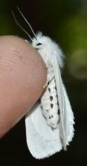 8137 Virginian Tiger Moth (Geographer Dave) Tags: 8137 virginian tiger moth spilosoma virginica virginiantigermoth spilosomavirginica arctiini arctiinae erebidae bmna small white july 2014 lmch lakemerwincampershideaway clarkcounty washington lake merwin campers hideaway