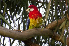 Mouth and hands full! (Derek Midgley) Tags: park bird parrot australia eastern rosella jells platycercus eximius img0376