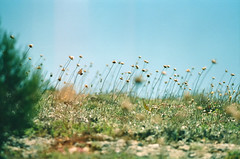 00270010 (EvGenuine) Tags: flowers film crimea sonnar крым agfavista200