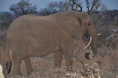 Elephant with atypical tusks - South Africa (stevelamb007) Tags: evening unusual tusks atypical elephant sabisands southafrica stevelamb africa wildlife dry season