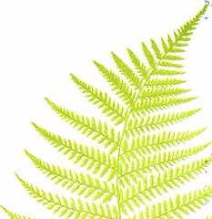 Anglų lietuvių žodynas. Žodis male fern reiškia vyrų paparčio lietuviškai.