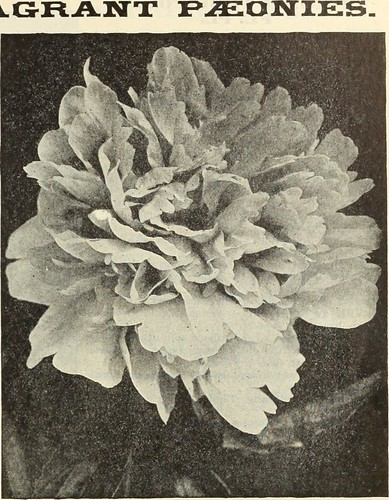 """Image from page 241 of """"Dreer's 1913 garden book"""" (1913)"""