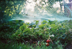 strawberries (if you look hard enough) (Liis Klammer) Tags: film analog 35mm estonia fuji bokeh superia 200 zenit eesti zenitet mir1v