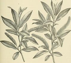 Anglų lietuvių žodynas. Žodis genus cannabis reiškia genties kanapių lietuviškai.