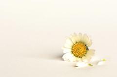 He loves me not. (Yvette-) Tags: daisy lessismore macromondays nikkorf28105mm nikond5100