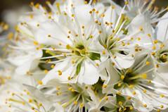 Macro (Yann OG) Tags: macro proxi fleur flower cerisier tubeallonge extensiontube 50mm paris spring springtime printemps
