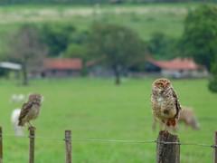 (IgorCamacho) Tags: coruja owl natureza nature