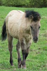 Poulain Tarpan (kahem54) Tags: poulain tarpan équidé cheval sauvage reserve parc domaine pontàmousson animal