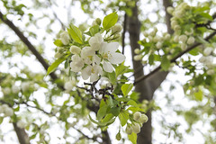 Spring Blossoms - Here they come (aaronrhawkins) Tags: blossoms tree white spring flowers branch petal seasons closeup delicate pretty beautiful grow burst byu brighamyounguniversity campus provo utah aaronhawkins
