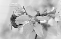 Black and White Bee (ertolima) Tags: bokeh pollen macro insect blossom blackandwhite bee flower bloom petal tree macromondays bw hmm black white delicate nature