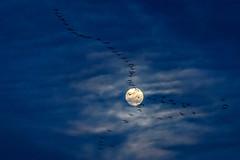 Sandhill cranes flying in front of the moon along the Platte River, Nebraska (diana_robinson) Tags: sandhillcranes gruscanadensis platteriver moon gibbon nebraska annualsandhillcranemigration silhouettes throughthemoon fullmoon flyingthroughthemoon cloudsaroundthemoon